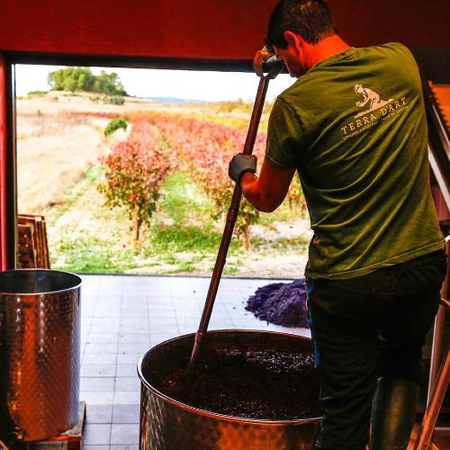 Vindruerne gøres klar til vinproduktion hos Terra Dárt